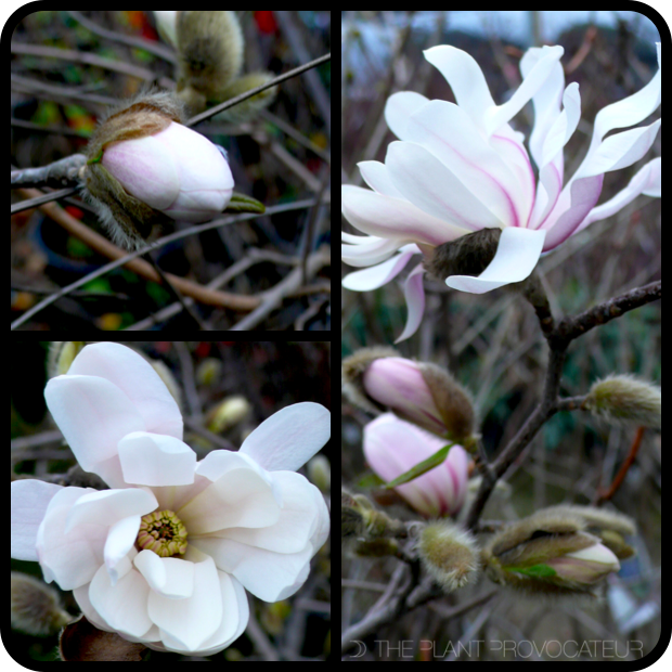 |Magnolia stellata 'Royal Star' bud + bloom|