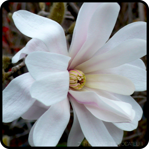 |Magnolia stellata 'Royal Star' profile|