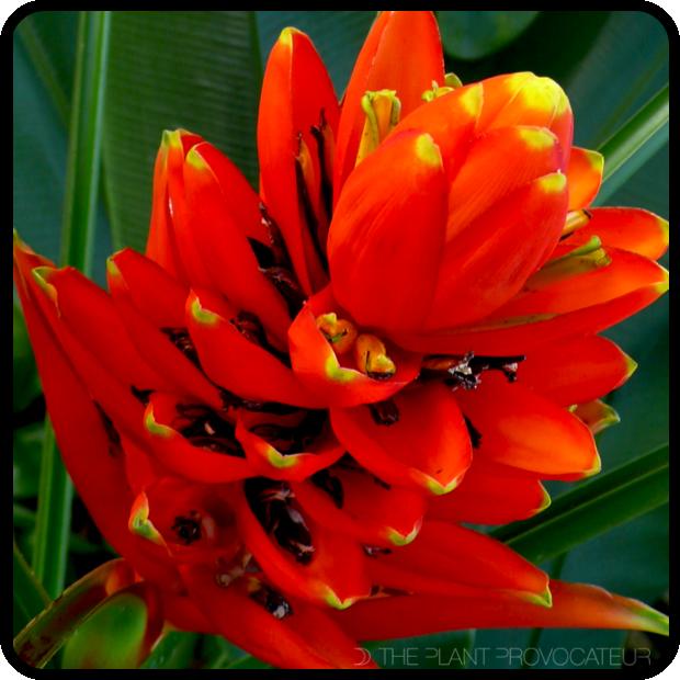 |Musa uranoscopus floral profile|