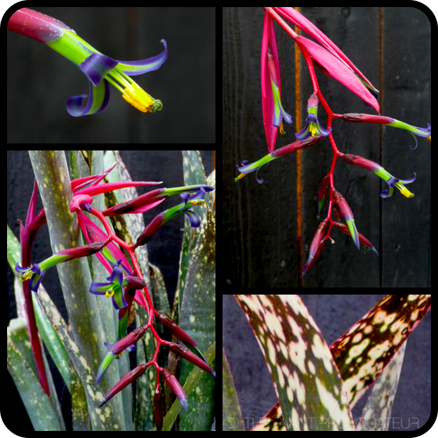 |Billbergia 'Fantasy Island' flower + foliage + form|