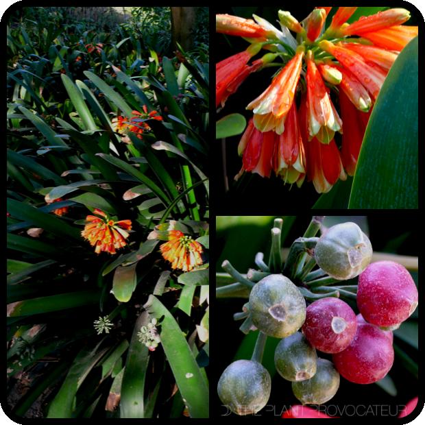 |Clivia gardenii detail|