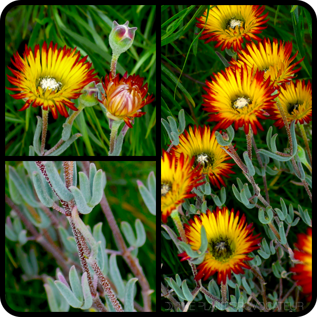 |Drosanthemum micans flower + foliage + form|