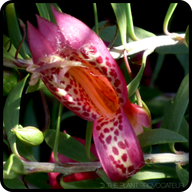 |Eremophila maculata floral profile|