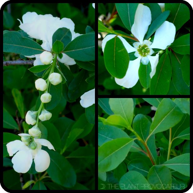 |Exochorda x macrantha bud + blossom + foliage|