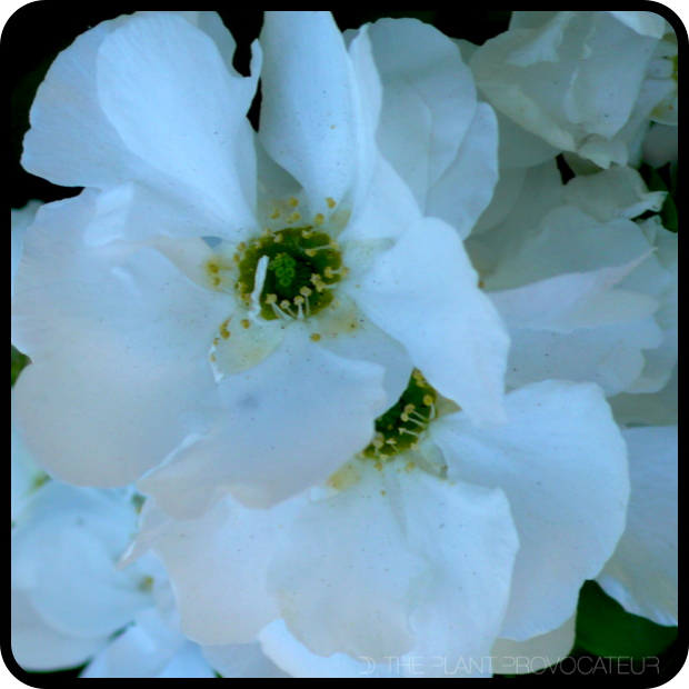 |Exochorda x macrantha floral detail|