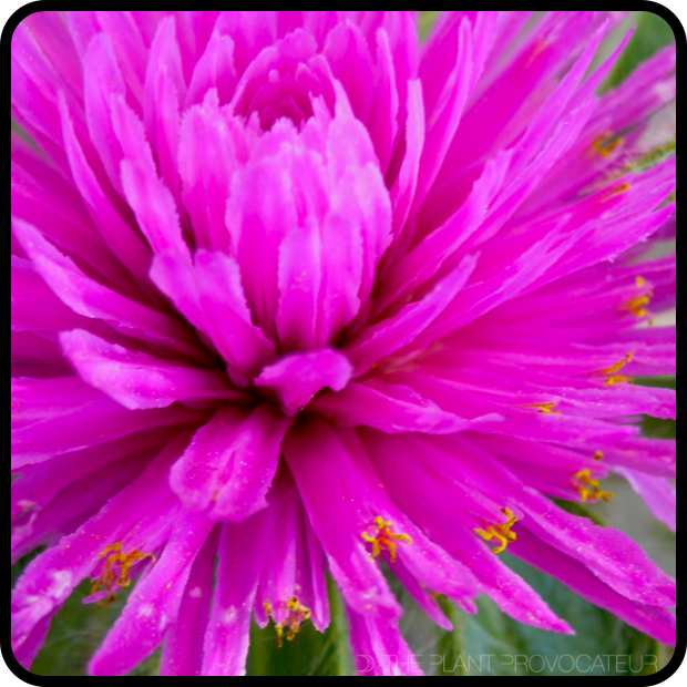 |Gomphrena 'Pink Zazzle' floral detail|