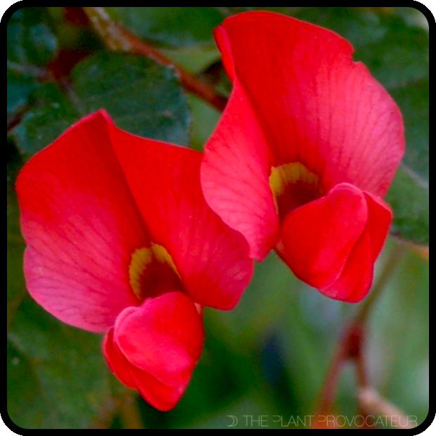 |Kennedia eximia floral profile|