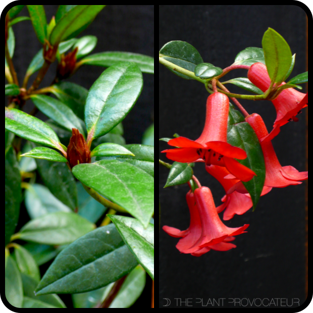 |Rhododendron rarum foliage + flower profile|
