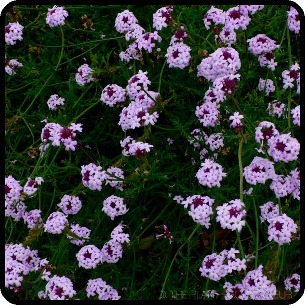 |Verbena lilacina 'De La Mina' profile|