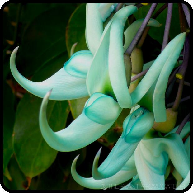 |Strongylodon macrobotrys floral profile|