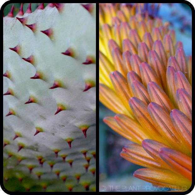 |Aloe marlothii foliage + flower|