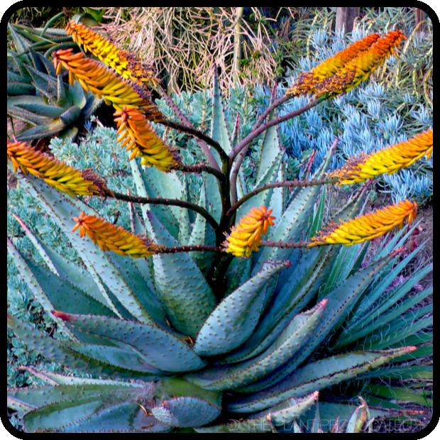 |Aloe marlothii profile|