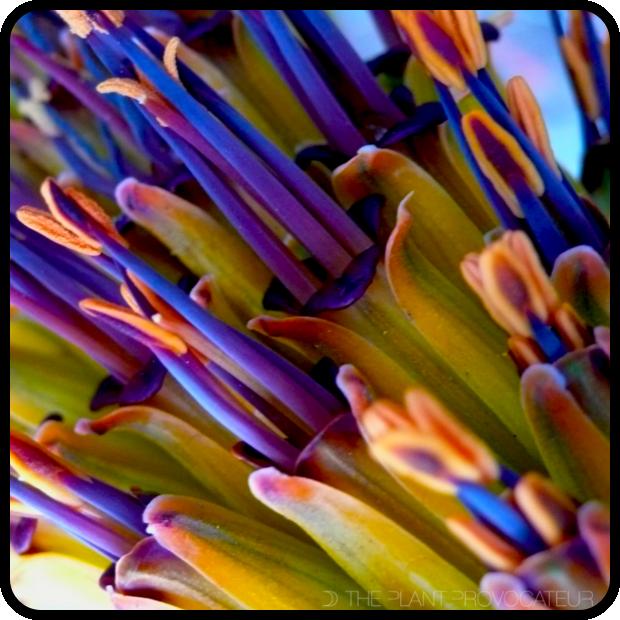 |Aloe marlothii floral detail|