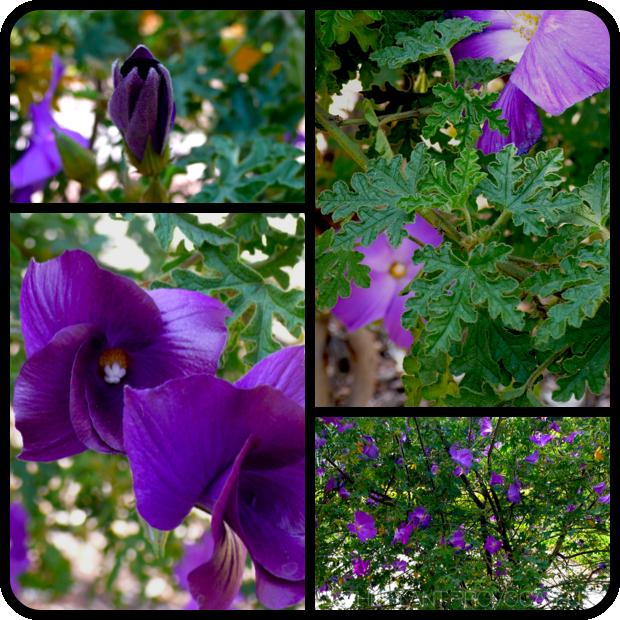 |Alyogyne huegelii flower + foliage + form|