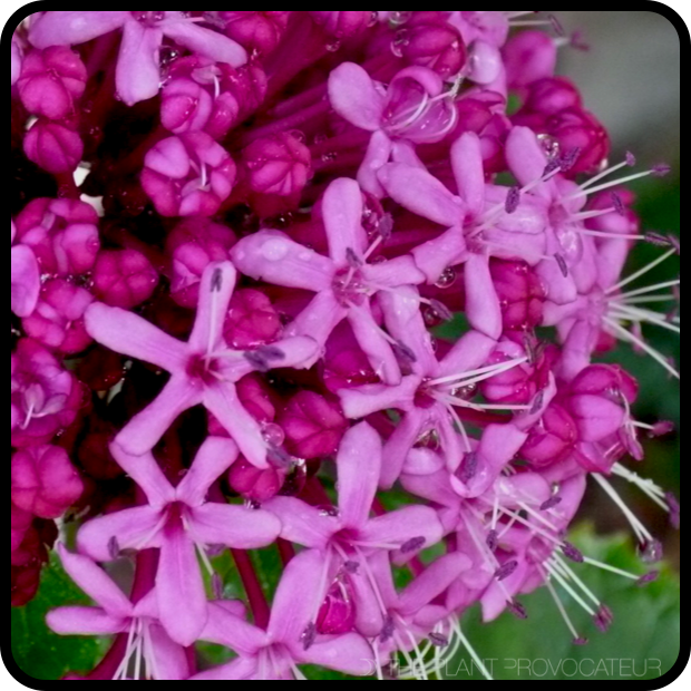 |Clerodendrum bungei floral profile|