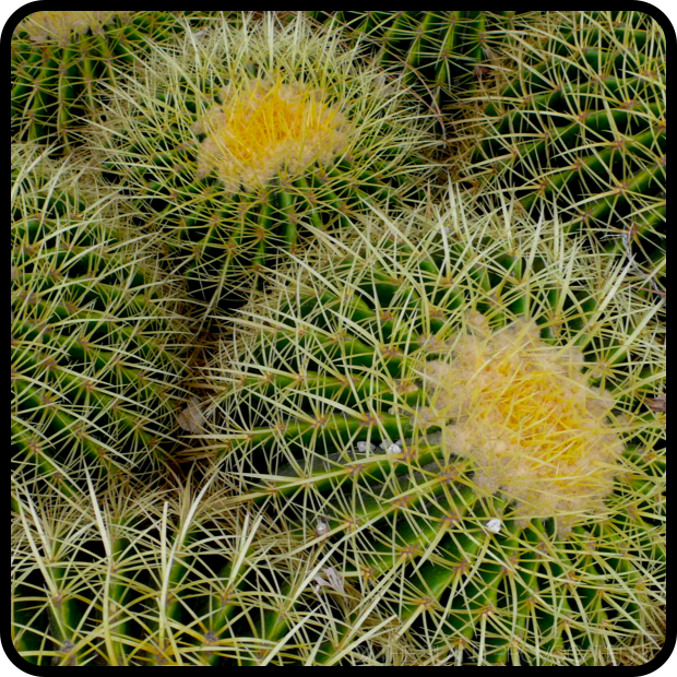 |Echinocactus grusonii 'Golden Barrel' profile|