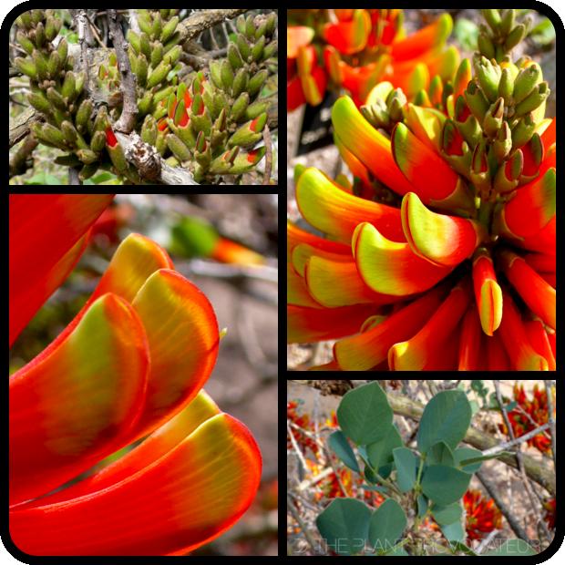 |Erythrina acanthocarpa details|