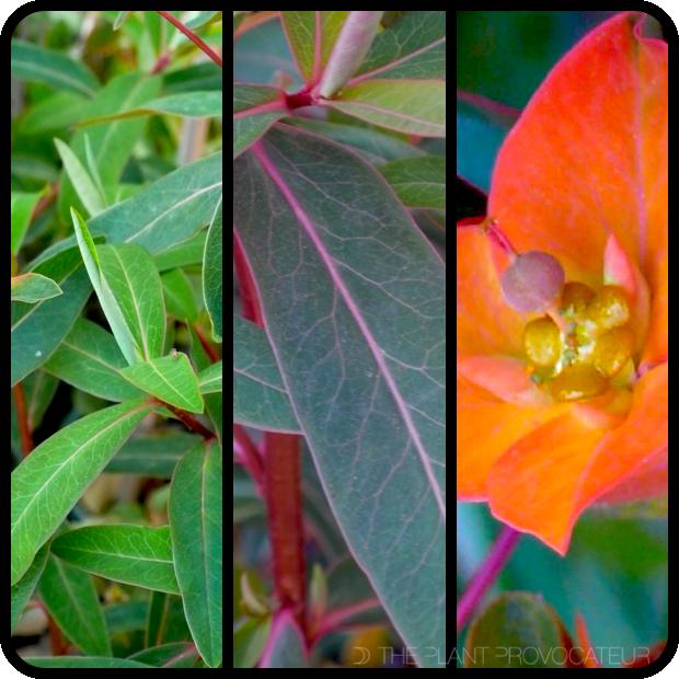|Euphorbia griffithii 'Fireglow' foliage + flower|