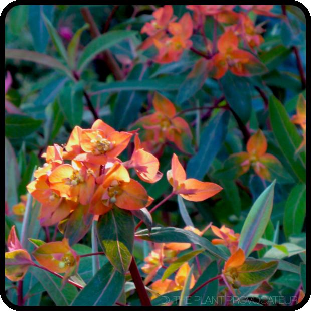 |Euphorbia griffithii 'Fireglow' profile|