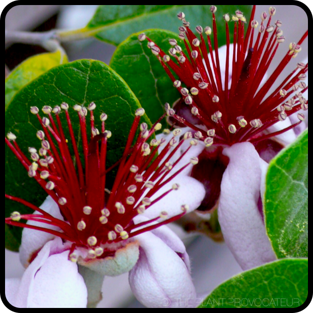 |Feijoa sellowiana floral profile|