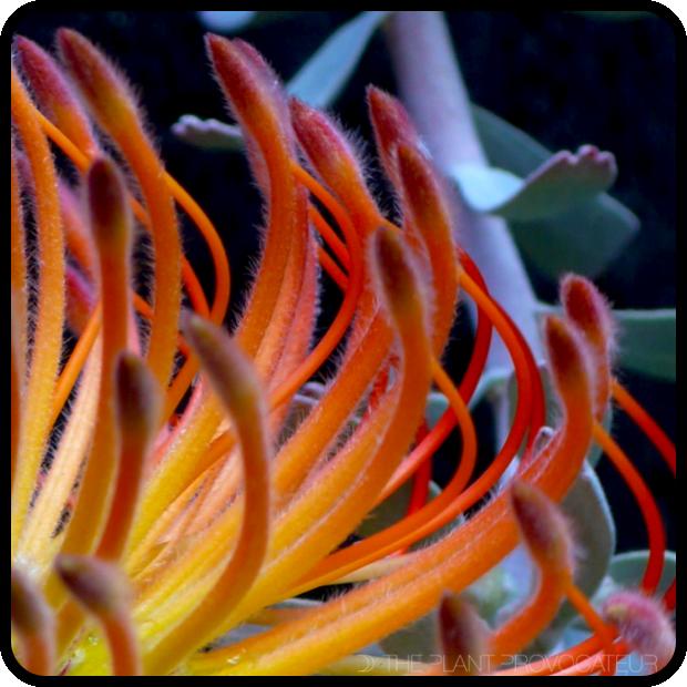 |Leucospermum reflexum floral detail|