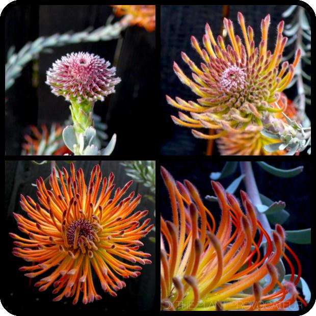 |Leucospermum reflexum floral profile|