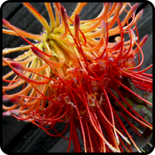 |Leucospermum reflexum flower detail|