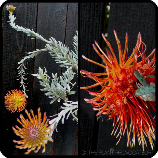 |Leucospermum reflexum form + foliage + flower|