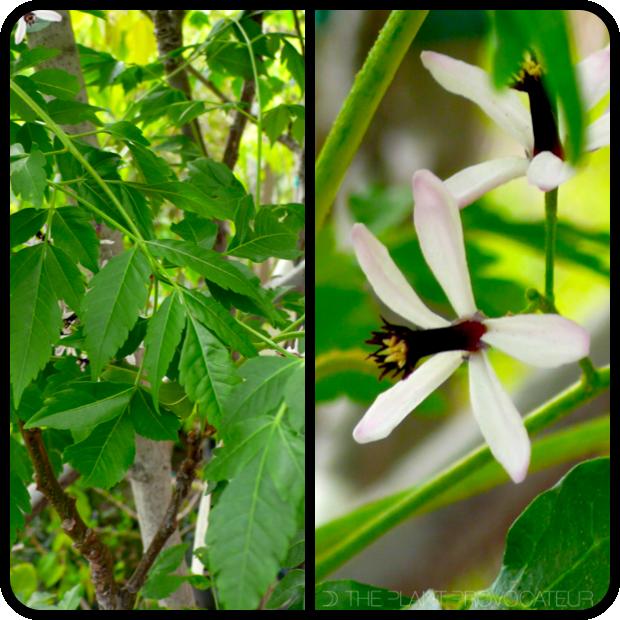 |Melia azedarach foliage + flower detail|