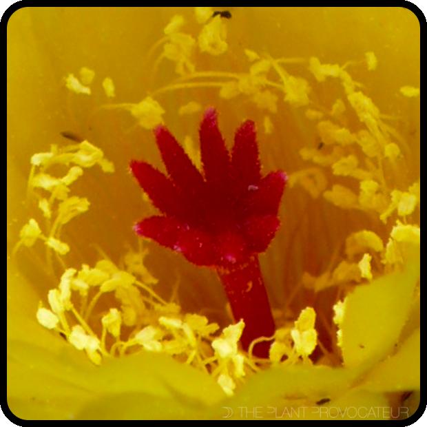 |Notocactus scopa var. murrielii - floral detail|