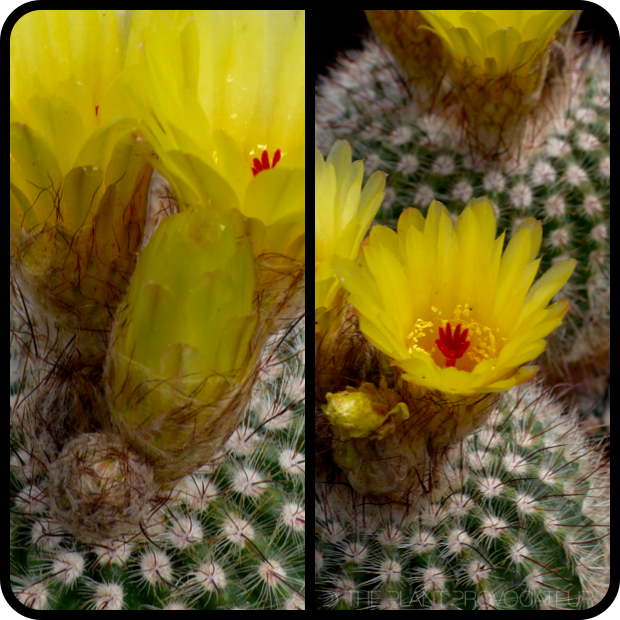 |Notocactus scopa var. murrielii profile|