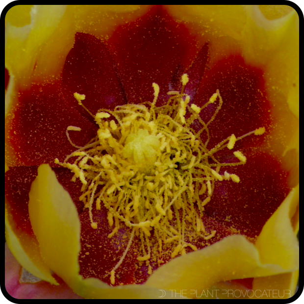 |Opuntia macrocentra subsp. macrocentra floral detail|