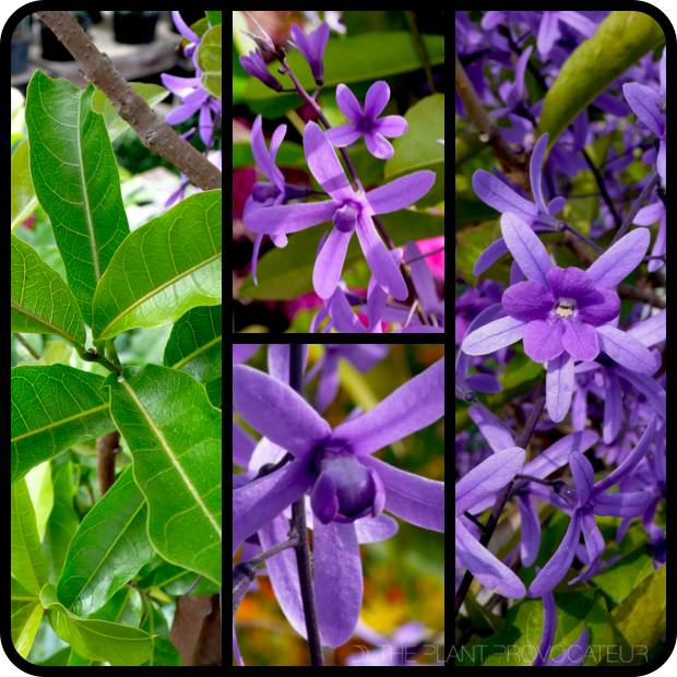 |Petrea volubilis foliage + flower|