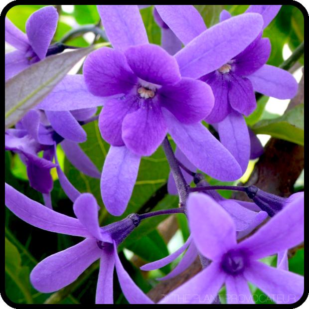 |Petrea volubilis floral profile|