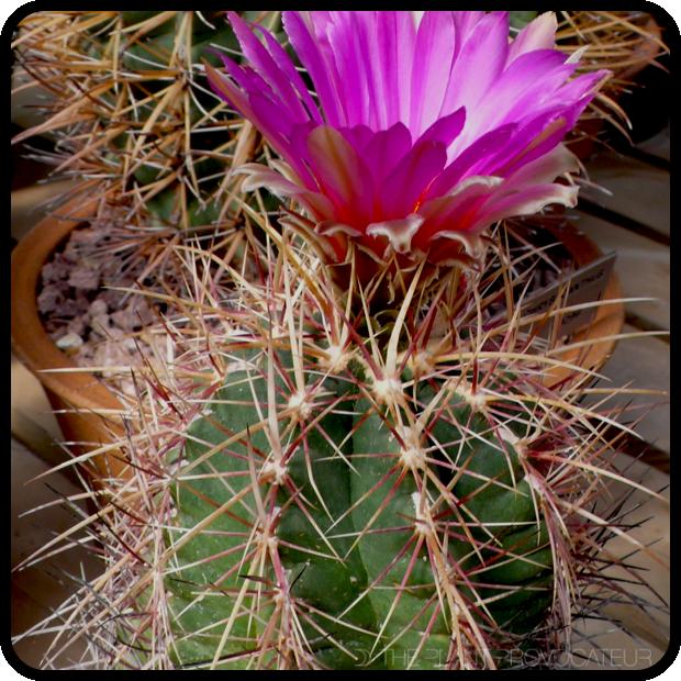 |Thelocactus bicolor profile|