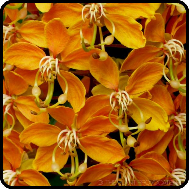 |Cassia brewsteri floral profile|