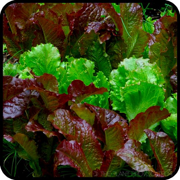 |Homegrown Salad Lettuce Leaves|