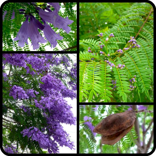 |Jacaranda mimosifolia profile|