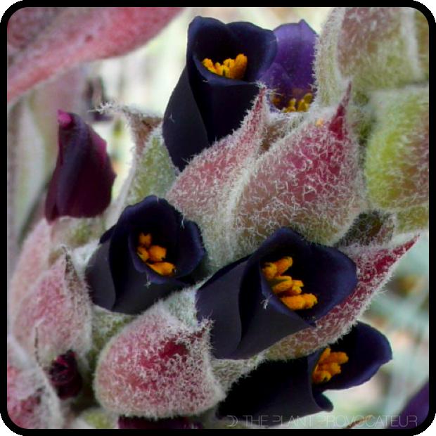 |Puya coerulea var. coerulea floral detail|