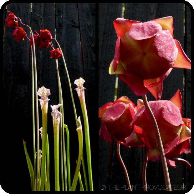 |Sarracenia leucophylla foliage + flower|
