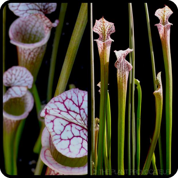 |Sarracenia leucophylla pitcher details|