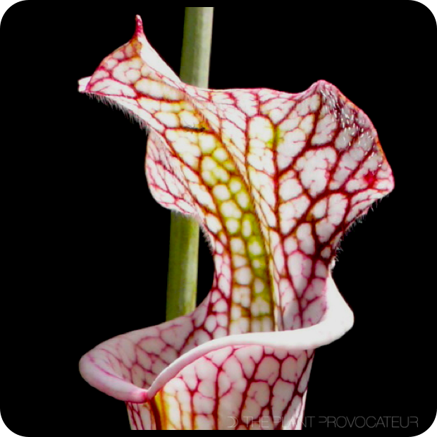 |Sarracenia leucophylla pitcher profile|