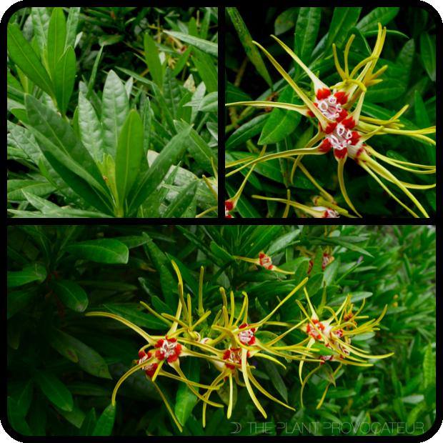 |Strophanthus speciosus foliage + flower + form|