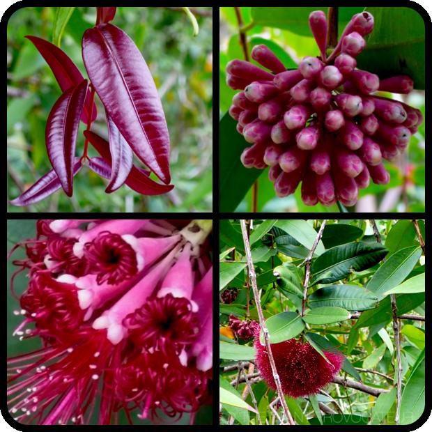 |Syzygium wilsonii foliage + flower + form|