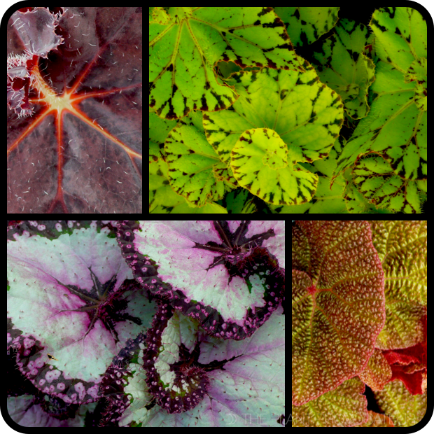 |Begonia foliage collection v.1|