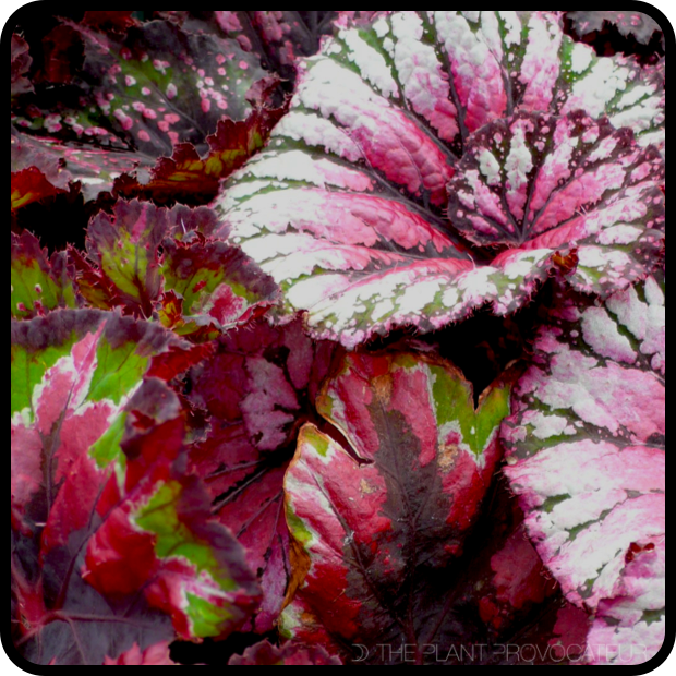 |Begonia foliage collection v.2|