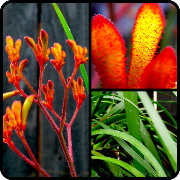 |Anigozanthos 'Amber Velvet' form + flower +foliage|