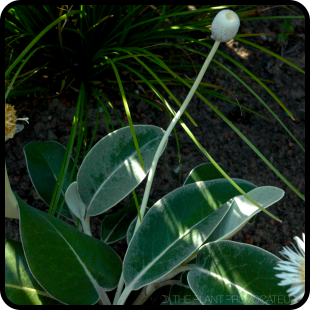 |Pachystegia insignis form + foliage|