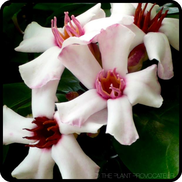 |Strophanthus gratus floral profile|