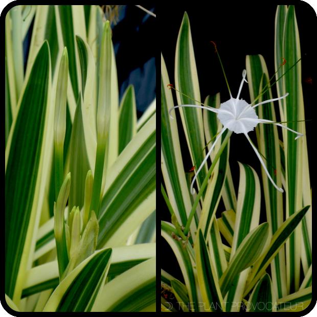 |Hymenocallis caribaea 'Variegata' bud + bloom|